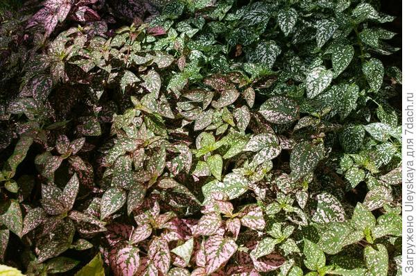 Гипоэстес как почвопокровное растение