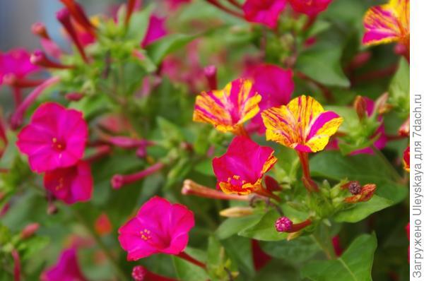 Цветет мирабилис