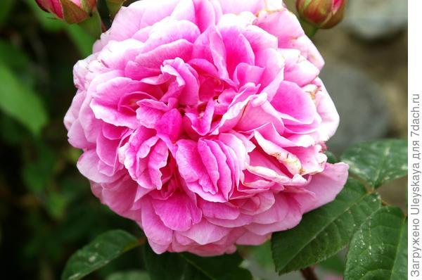 Роза сорт Gertrude Jekyll