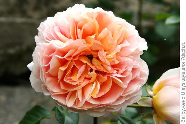 Роза сорт William Morris