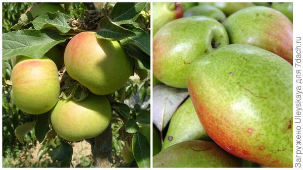 Семена яблок и груш можно использовать для суррогатного кофе