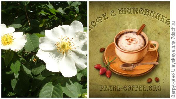 Шиповник и шиповниковый кофе, фото сайта pearl-coffee.org
