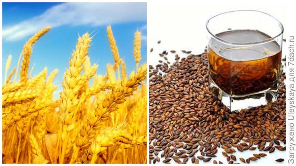 Ячмень, фото сайта www.13min.ru, зерновой кофе из ячменя, фото сайта ru.aliexpress.com