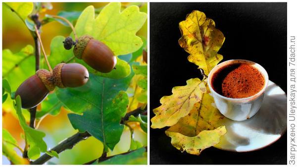 Спелые желуди, фото сайта www.fotowallpapers.ru, желудевый кофе, фото сайта coffeemag.ru