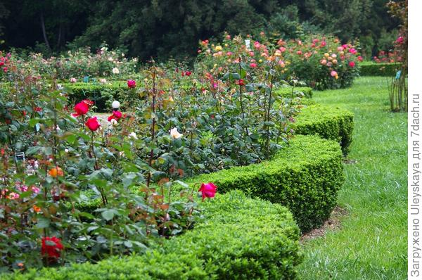Обрамление роз в фестонах бересклетом японским карликовым