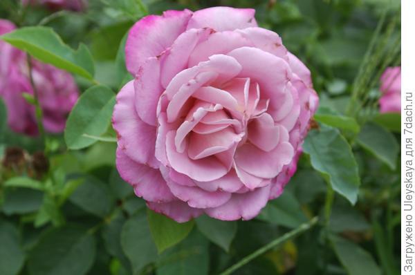 Цветкам розы сорт Saint-Exupery характерен классический розовый аромат