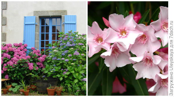 Душистый цветник из гортензии под окнами дома, фото Василия Александровича Войнова, душистый олеандр