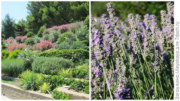 Душистые цветники на террасах, несравненная лаванда узколистная с очаровывающим ароматом