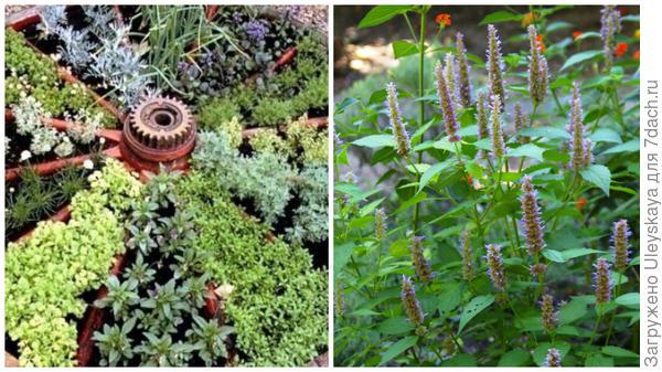 Травы в колесе, фото сайта wmnday.ru, ароматный лофант