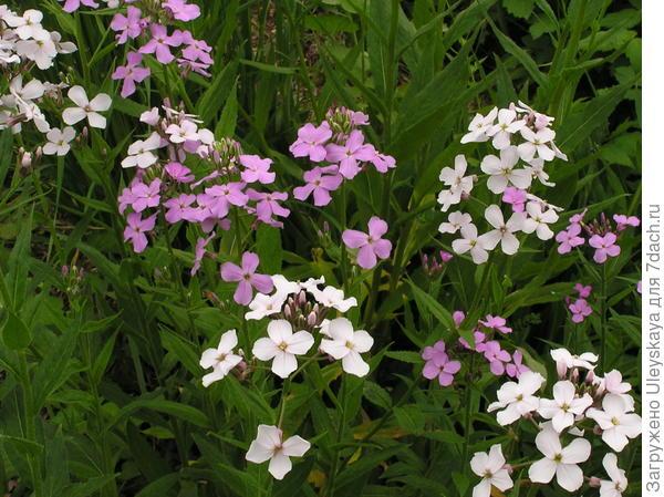 Гесперис матроны, фото сайта www.floristtaxonomy.com