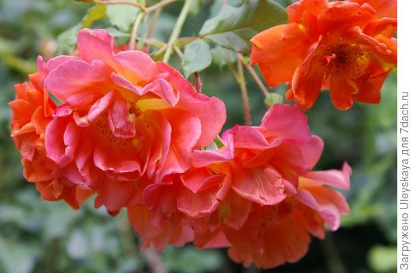 Несравненная полуплетистая роза сорт Westerland