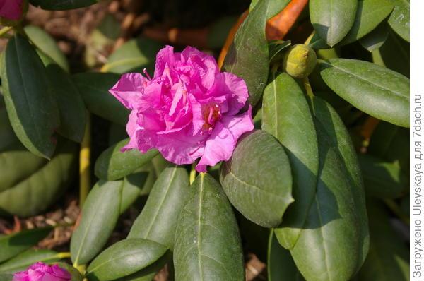 Цветущий рододендрон, 5 октября