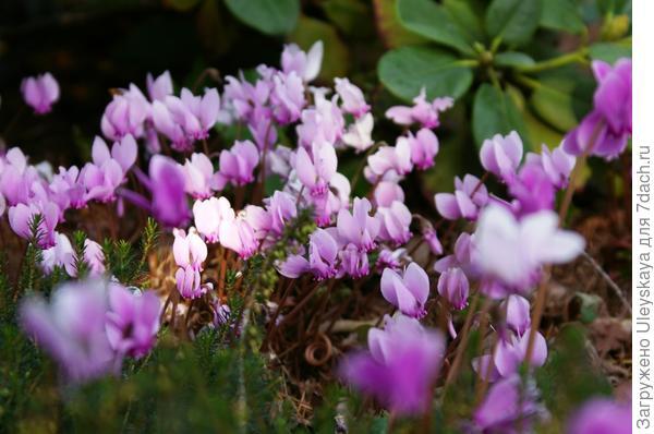 Цикламен пурпурный