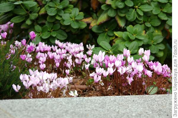 Цикламен пурпурный, 5 октября