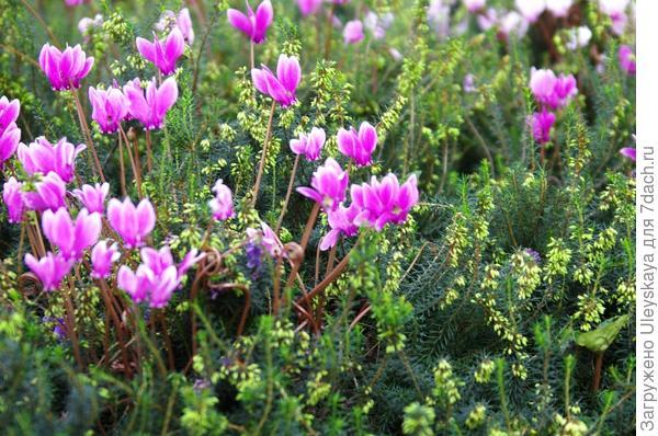 Цикламен пурпурный с эрикой