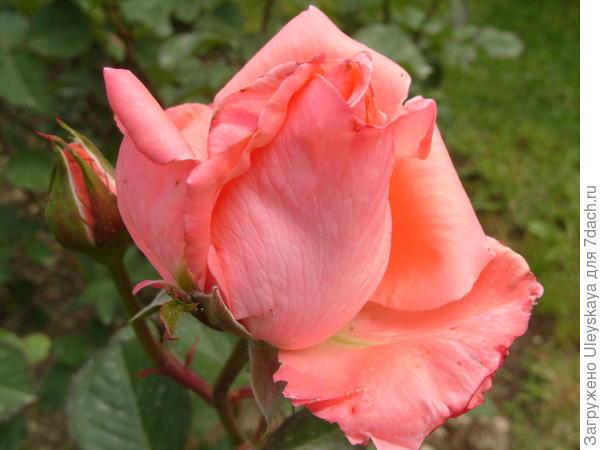 Чайногибридная роза сорт Dolce Vita