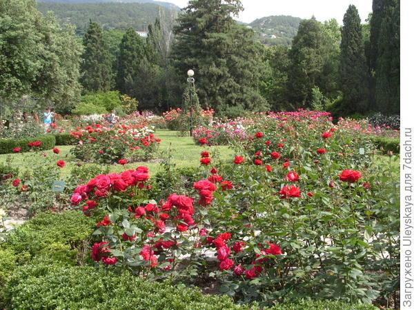 Ухоженные розы в розарии