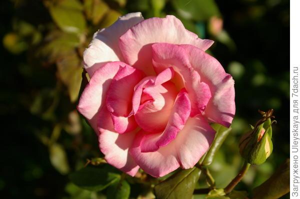 Роза сорт Wimi