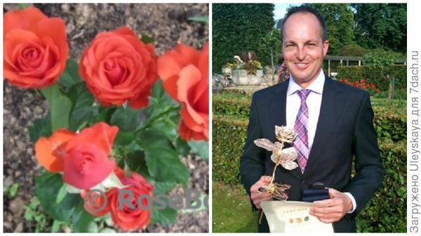 Роза сорт Garnette, фото сайта Энциклопедия роз и Дженс Крюгер руководитель питомника Roses Tantau в наши дни, фото сайта Ваш Сад