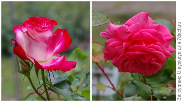 Роза сорт Pariser Charme