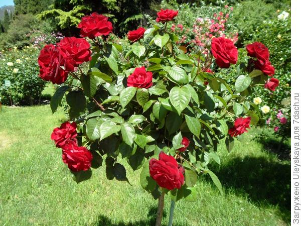 Роза сорт Pussta