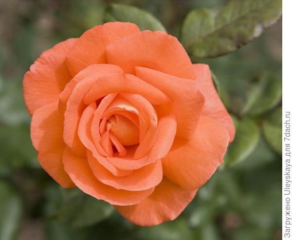 Роза сорт Janina, фото сайта Procvetok.com