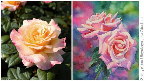 Роза сорт Aquarell, фото сайта mpr-vlg.ru и розы акварелью, фото сайтаdemiart.ru
