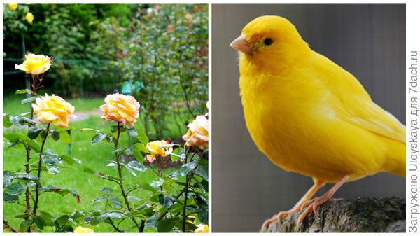 Роза сорт Canary и канарейка, фото сайта www.pitomec.ru