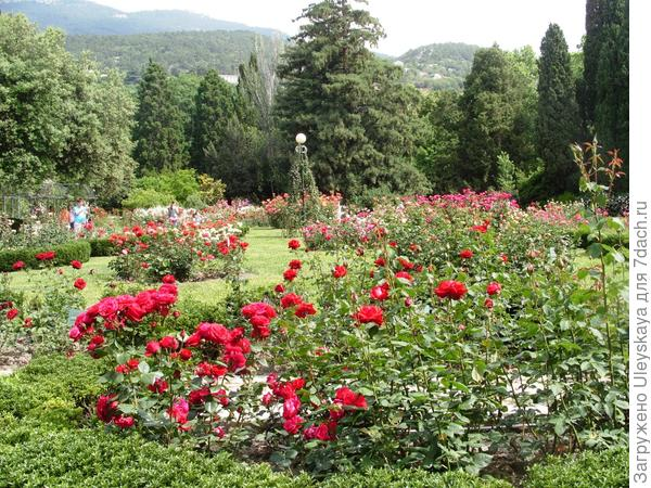 Самая старая секвойя вечнозеленая в конце розария, ЮБК