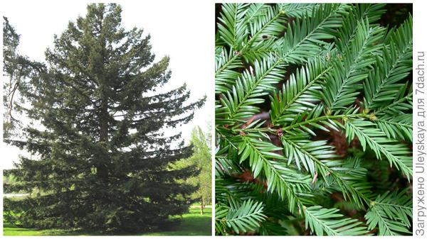 Секвойя вечнозеленая, общий вид, фото сайта Wikimedia Commons, побег, фото сайта Pinteres