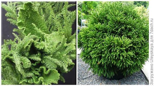 Декоративные формы Cristata, фото сайта Bloom River Garde и Globosa Nana, фото сайта Architectural Plants