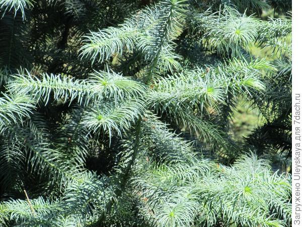 Куннингамия ланцетолистная Glauca, хвойная красавица из Таксодиевых