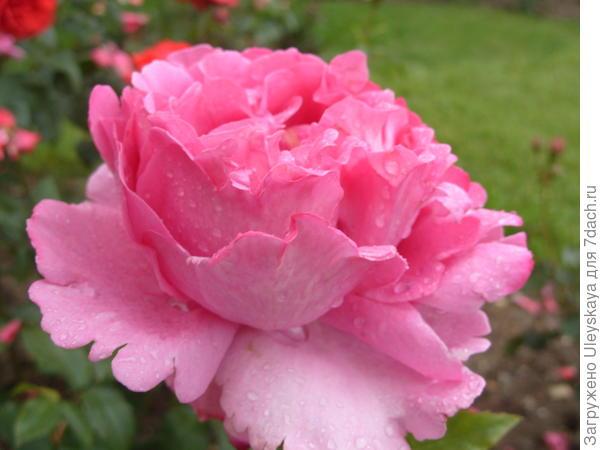 Роза сорт Yves Piaget