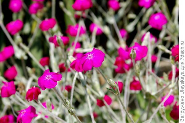 Лихнис корончатый может зацвести в год посева