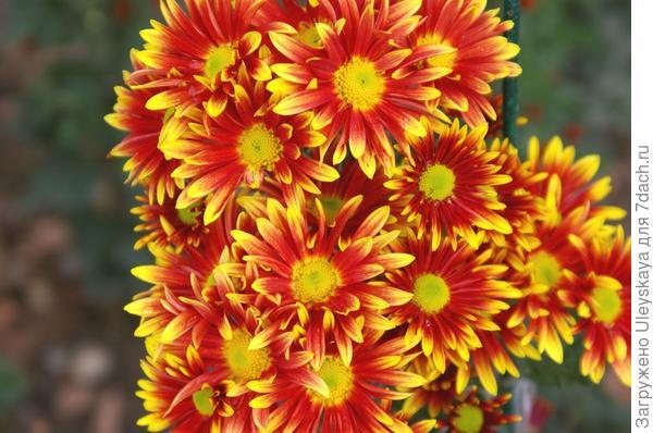 Хризантема сорт Сашенька