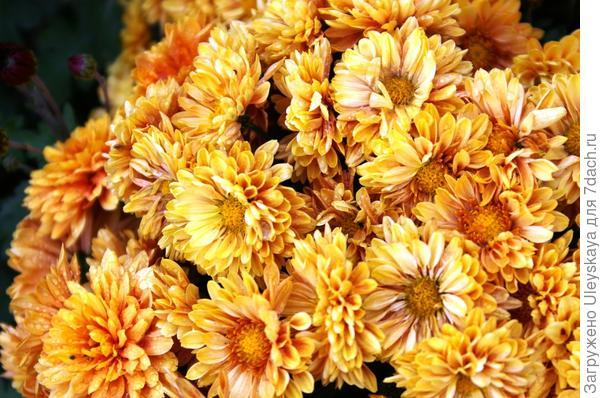 Хризантема сорт Elda Orange