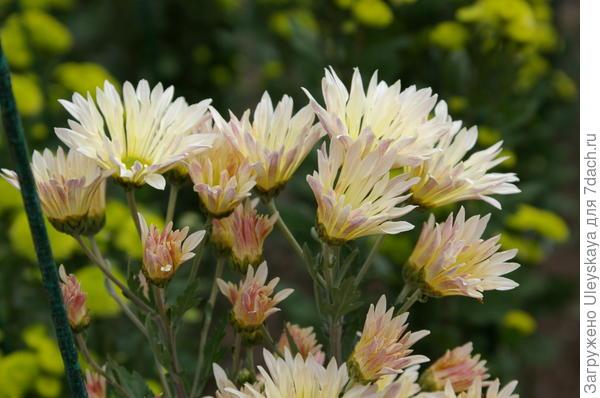 Хризантема сорт Мухолатка
