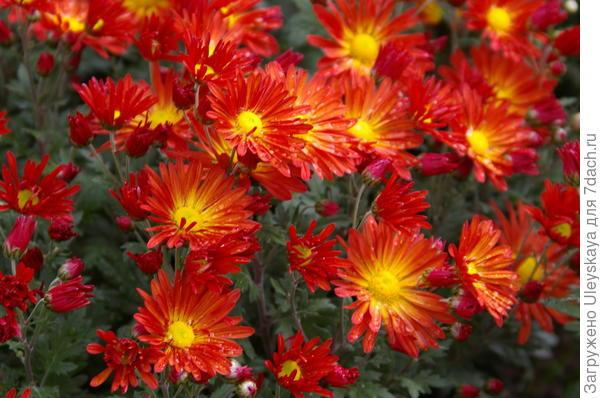 Хризантема сорт Милашка