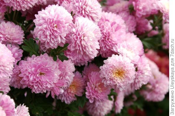 Хризантема сорт Букетный Розовый