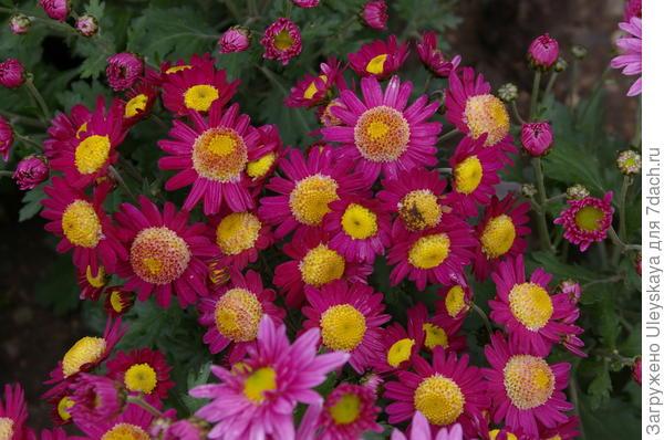 Хризантема сорт Витязь