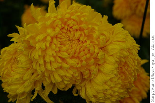 Хризантема сорт Золотой Эльф