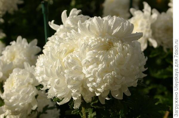 шаровые хризантемы фото здесь различным причинам