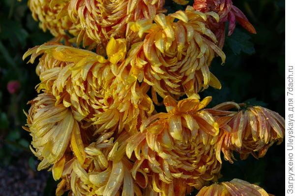 Хризантема сорт Lovisette