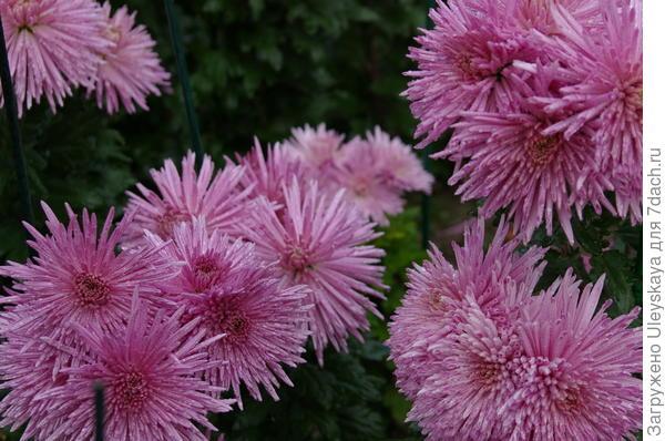 Хризантема сорт Anastasia Lilac