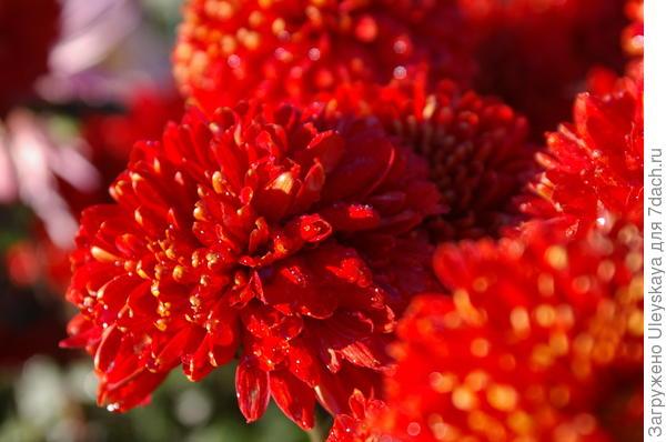 Хризантема сорт Красное Знамя