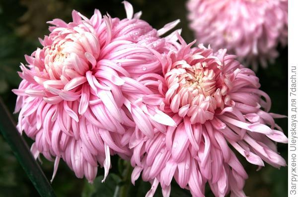 Хризантема сорт Лепестковый Дождь