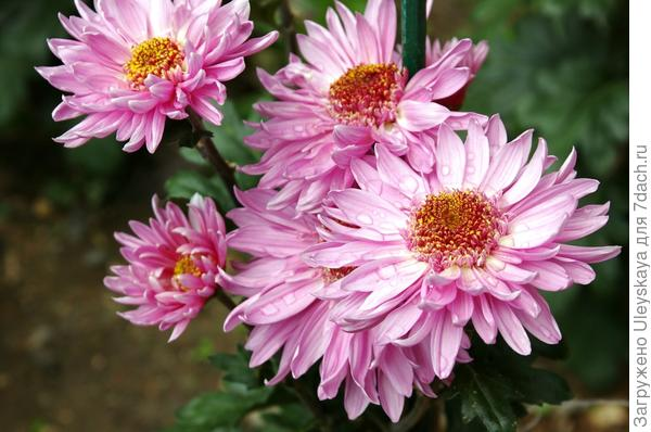 Хризантема сорт Розовые Сумерки