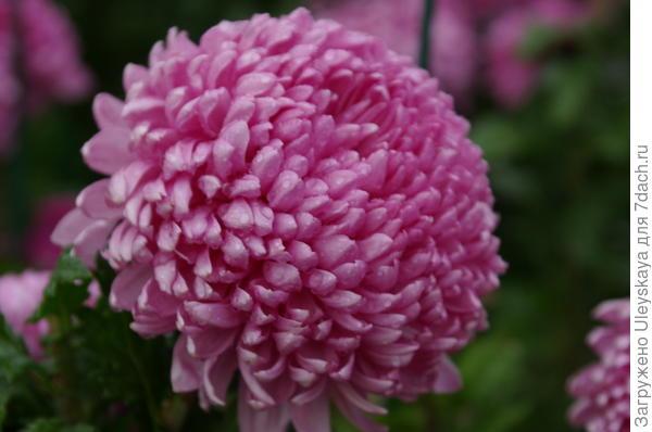 Хризантема сорт Milka Pink