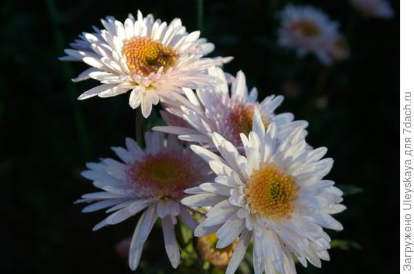 Хризантема сорт Eleanor White