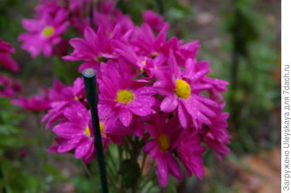 Хризантема сорт Bacardi Lilac